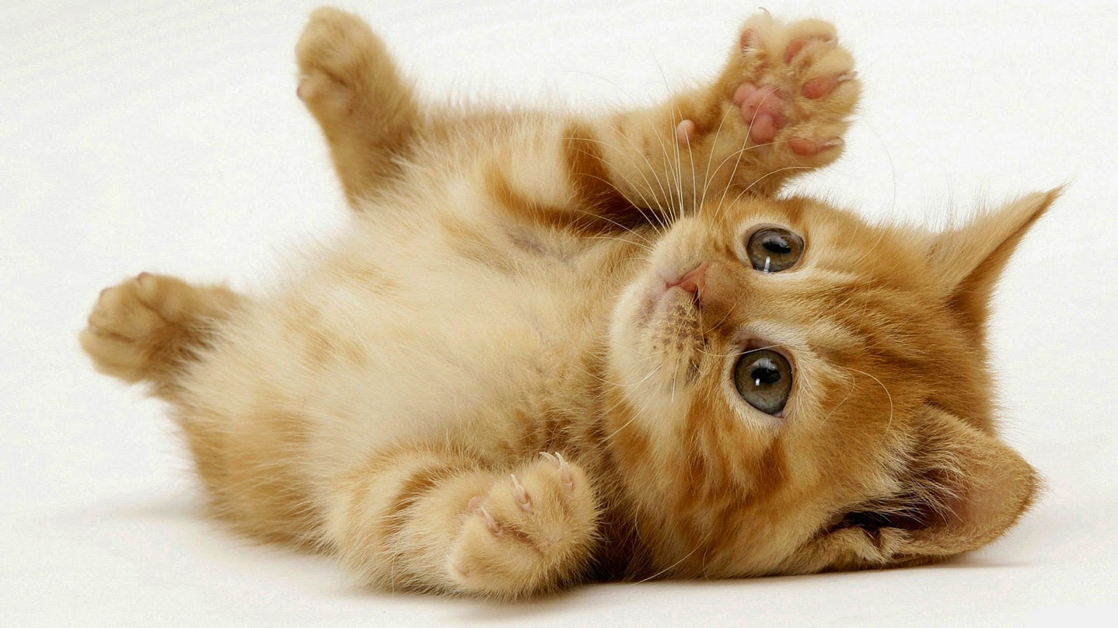 15 cute cat pictures and wallpapers style arena