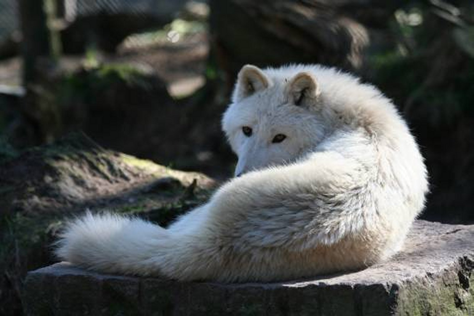 wolf pictures