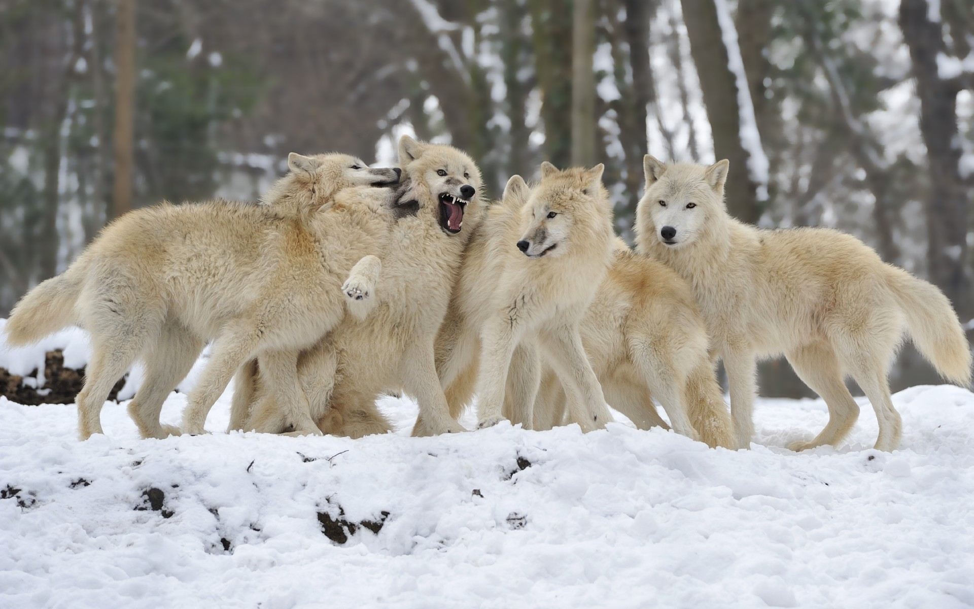 25+ Enchanting Wolf Pictures