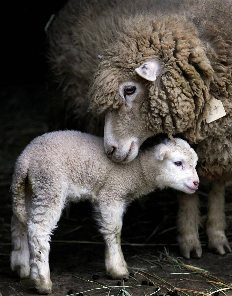 baby animals mothers mommy sheep lamb animal cutest mother babies mom mama cute lambs ewe mum momma child newborn adorable